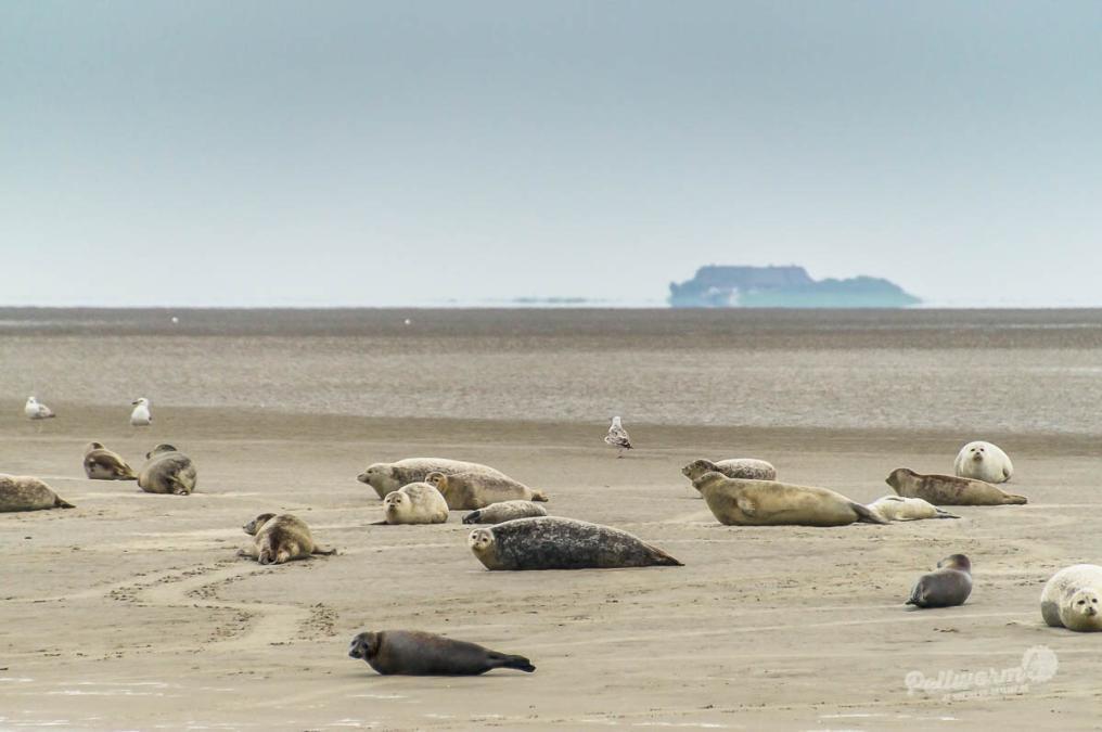 60 Sekunden Pellworm: Seehunde auf Norderoogsand