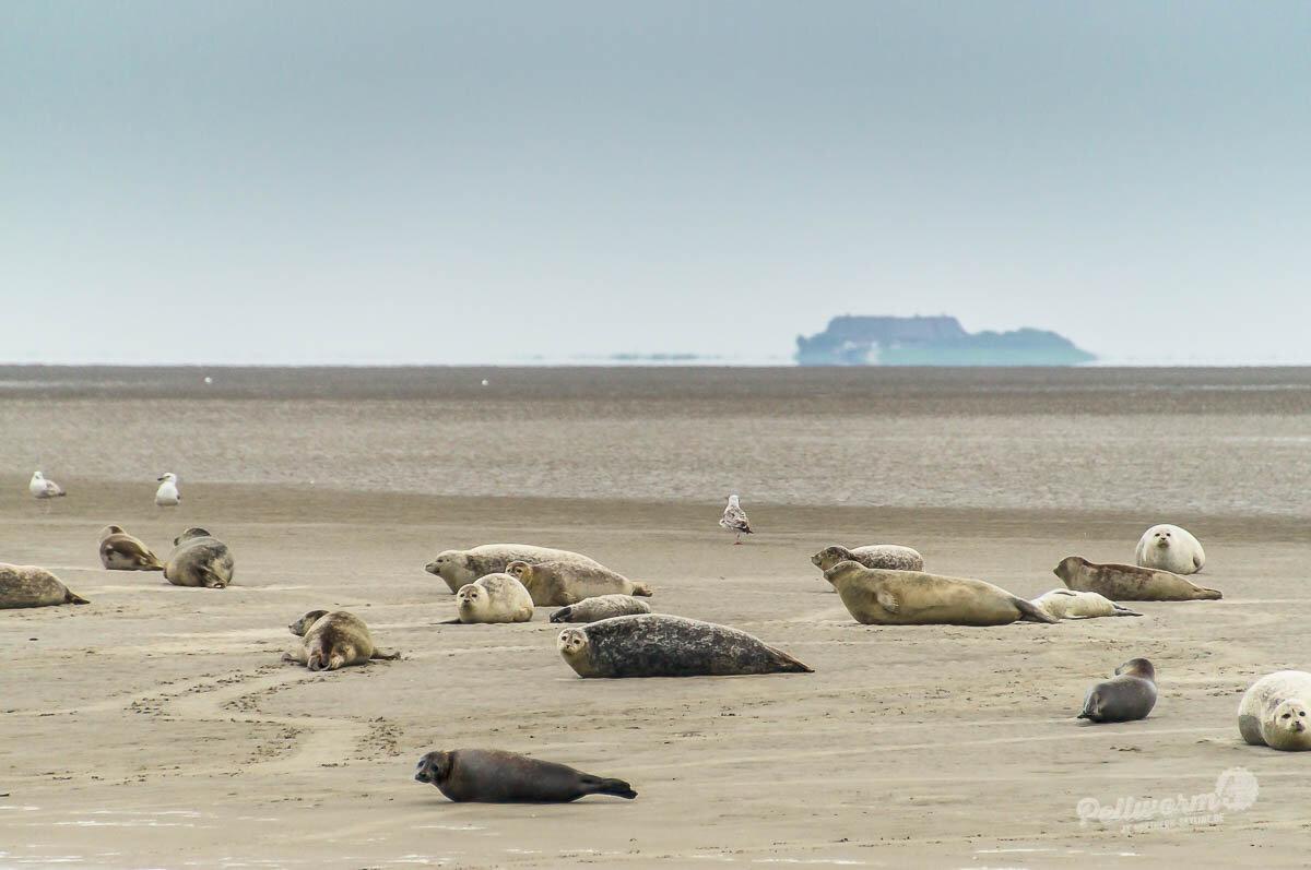 Seehunde vor der Insel Pellworm liegen auf einer Sandbank.