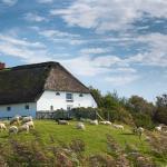 Schafe grasen friedlich vor einem schönen Reetdachhaus auf Pellworm