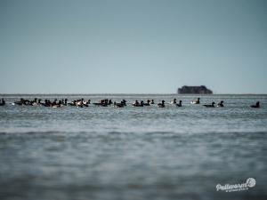 Ringelgänse vor der Insel Pellworm. Im Hintergrund eine Hallig am Horizont..