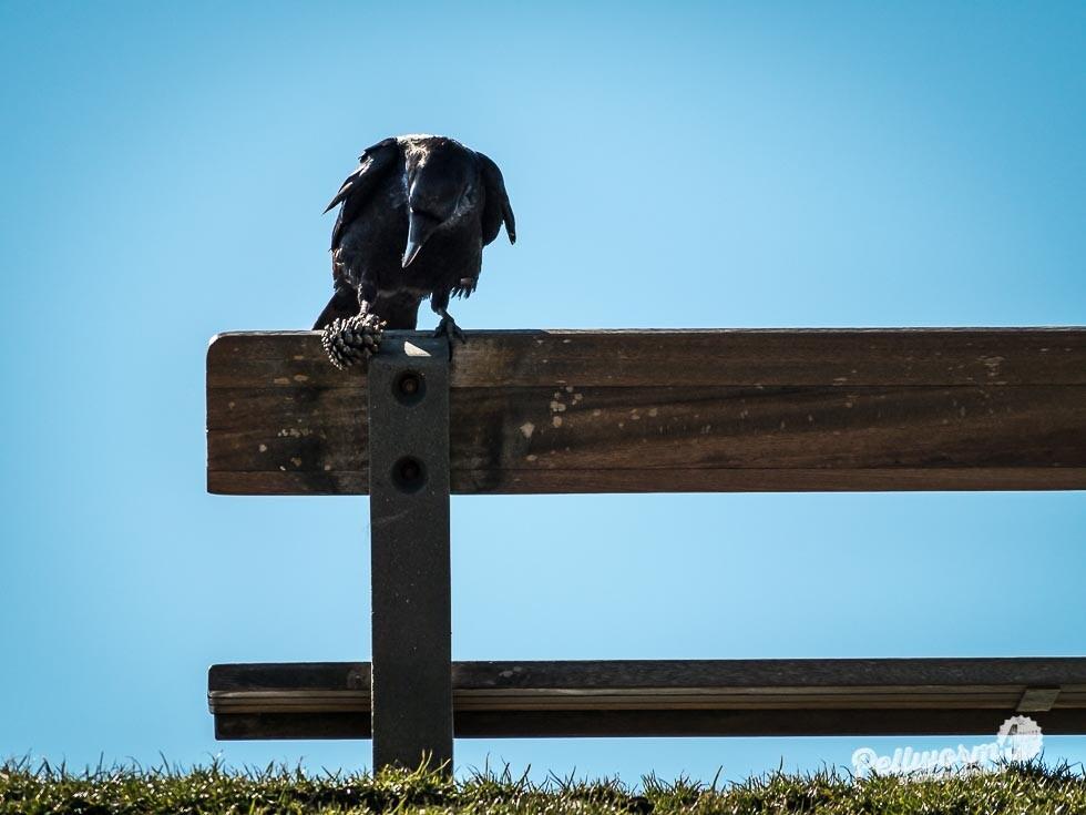 Ein scharzer Rabe kämpft auf einer Bank auf einem Deich auf Pellworm mit einem Tannenzapfen