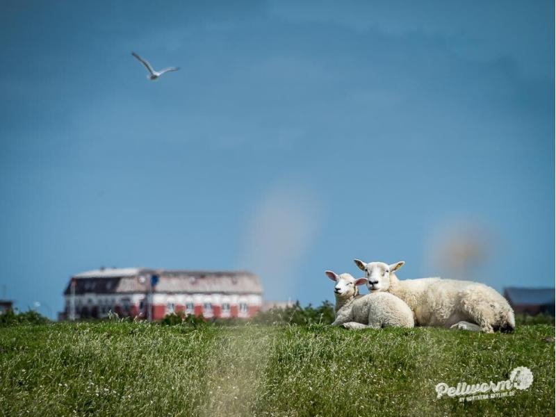 Pellwormer Schafe sonnen sich auf dem Deich