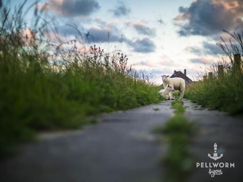 Die beiden jungen Schafe haben einen tollen Ausblick über den Hafen von Tammensiel auf Pellworm.
