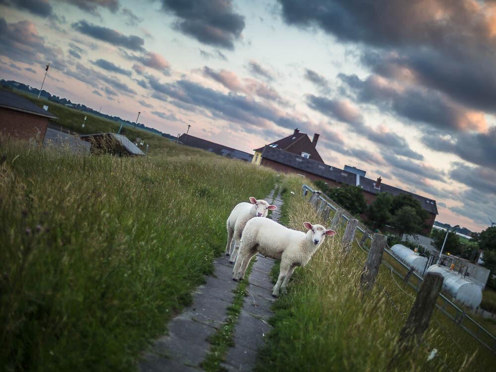 Zwei junge Schafe stehen auf dem Deich des Pellwormer Hafens und schauen frech in die Kamera