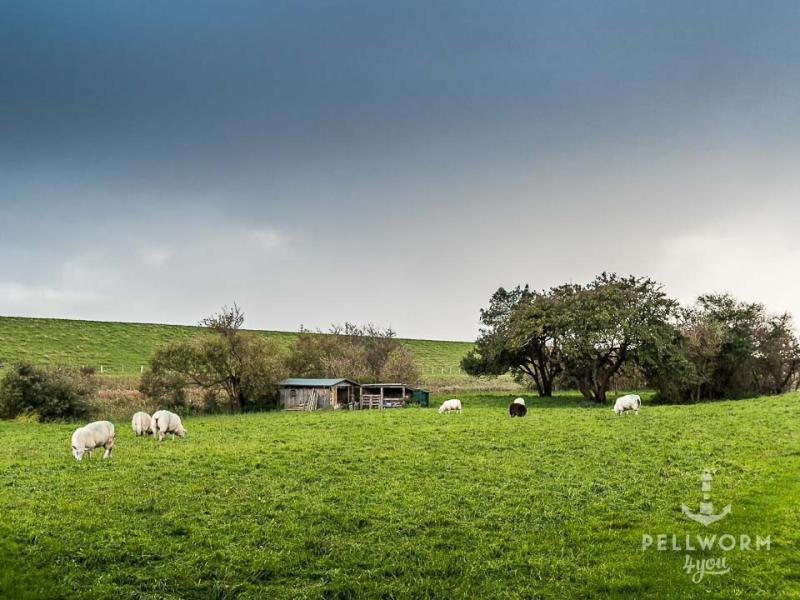 Schafe grasen auf Pellworm unter Regenwolken