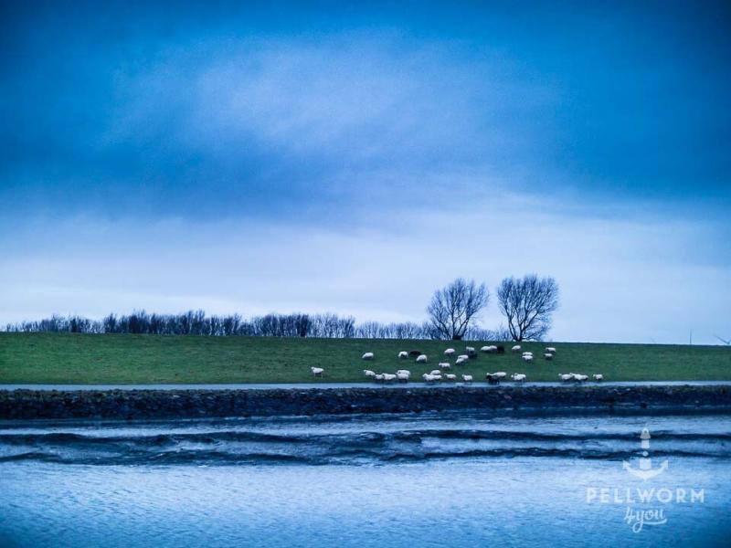 Pellwormer Schafe bei kaltem Schietwetter am Hafen