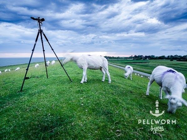 Schafe und Fotostativ auf dem Deich von Pellworm